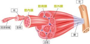 筋膜リリースのウソ?ホント?エビデンスに基づいた効果とやり方をご紹介!