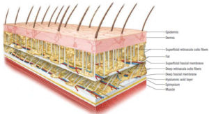 fascia|そもそも筋膜って?|筋膜リリースのウソ?ホント?エビデンスに基づいた効果とやり方をご紹介!