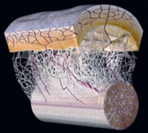 そもそも筋膜って?|筋膜リリースのウソ?ホント?エビデンスに基づいた効果とやり方をご紹介!